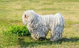 TOP10 ras psów dużych