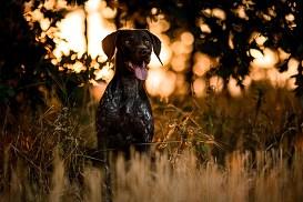 TOP10 ras największych psów