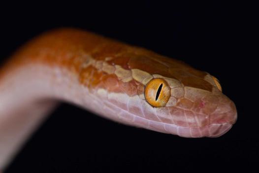 Wąż mahoniowy - opis, wymagania, hodowla, rozmnażanie, porady