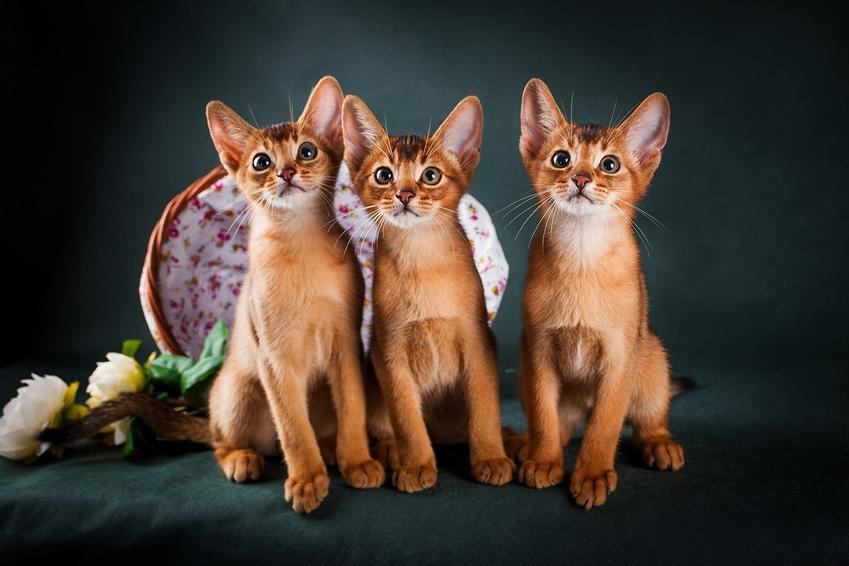 Trzy kotki abisyńskie pozują do zdjęcia