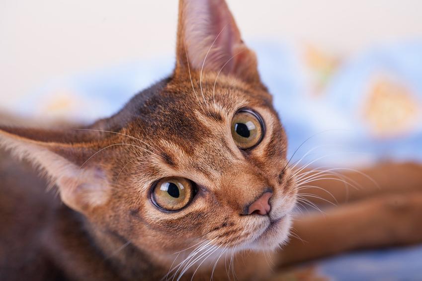 Kot abisyński z bliska