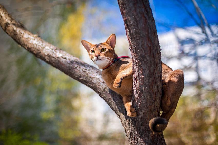 Kotek abisyński na drzewie