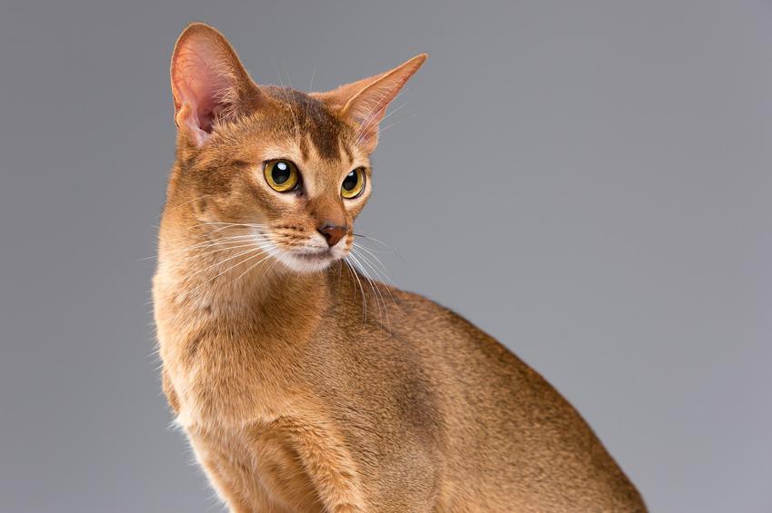 Co warto wiedziec o kocie abisyńskim?