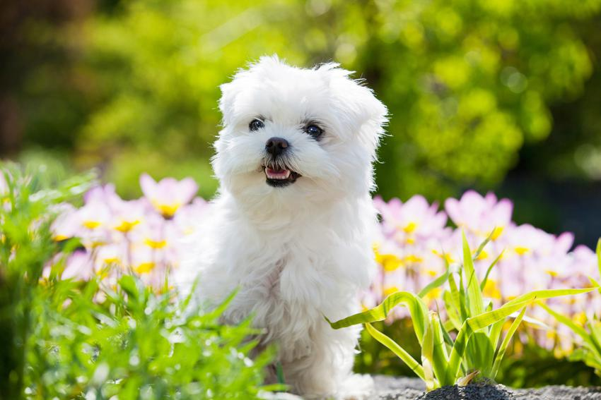 Maltańczyk w ogrodzie, a także cena maltańczyka i pies rasy maltańczyk z rodowodem