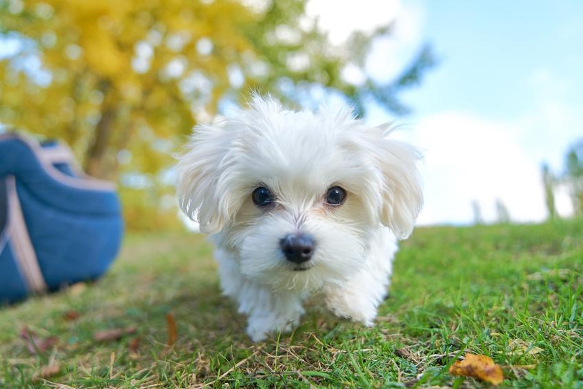 Maltańczyk na trawie oraz cena maltańczyka, w tym duży pies rasy maltańczyk i szczeniak maltańczyka