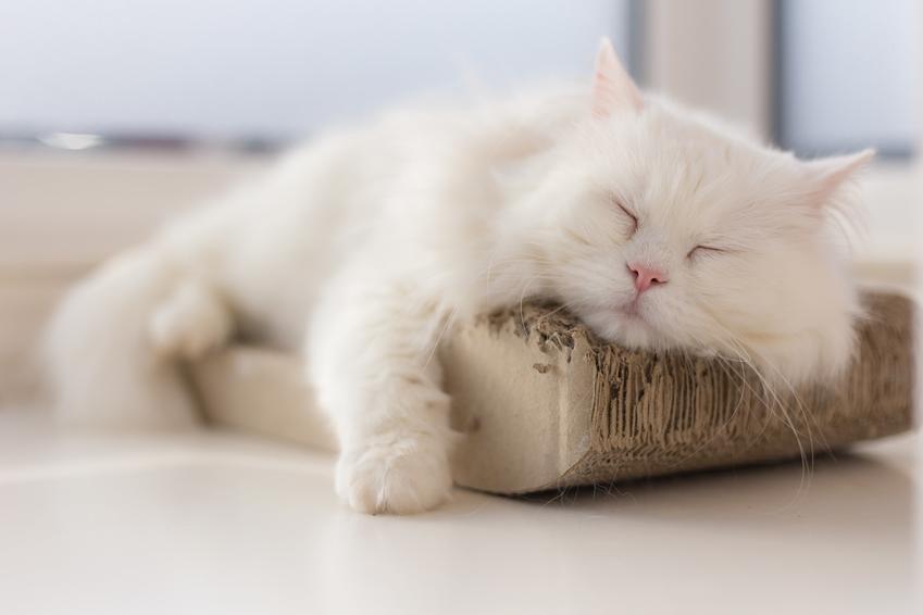 Biały kot perski, czyli umaszczenie kotów perskich, a także niebieski, rudy i szary kot perski