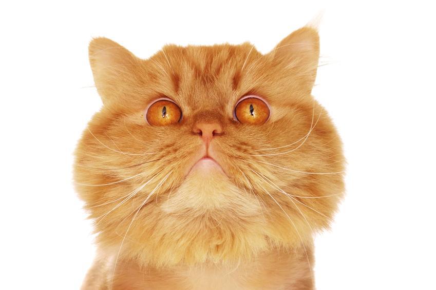Rudy kot perski, a także białe koty perskie i inne umaszczenia, jak szary kot perski