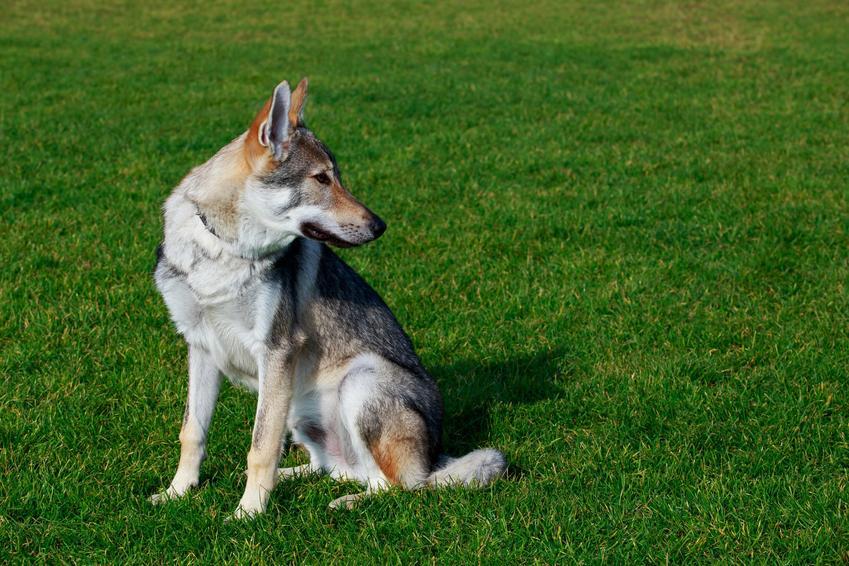 Pies rasy wilczak czechosłowacki na tle zieleni, a także jego charakter, cena wilczaka czechosłowackiego