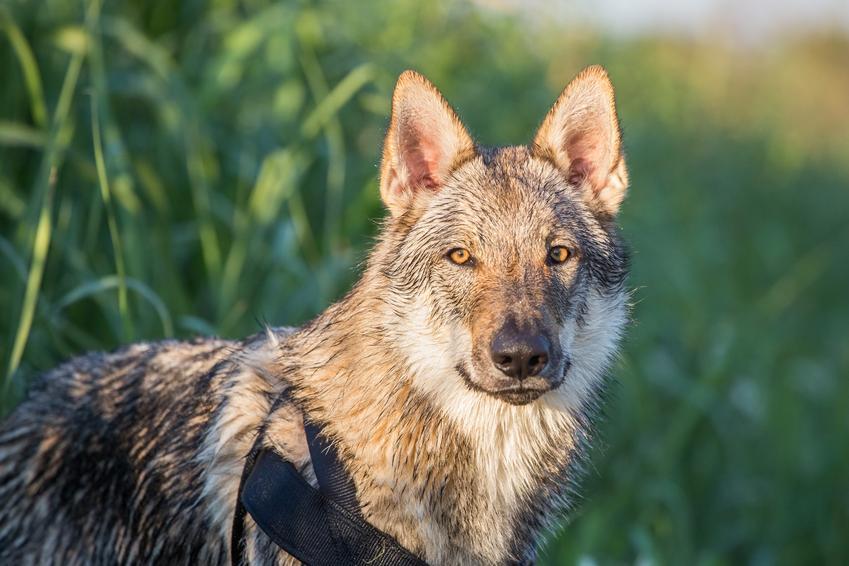 Pies rasy wilczak czechosłowacki na portrecie na tle zieleni, a także jego hodowla, charakter i cena wilczaka czechosłowackiego