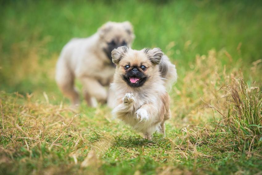 Dwa psy rasy pekińczyk biegające po trawniku, a także informacje, charakter i opis rasy