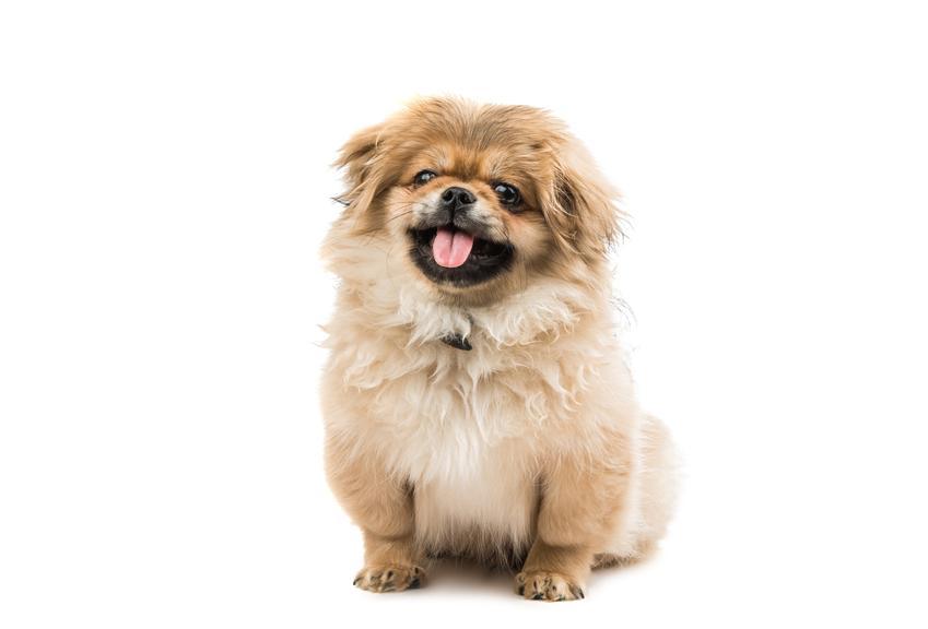 Pies rasy pekińczyk na białym tle, a także informacje, charakter i opis rasy