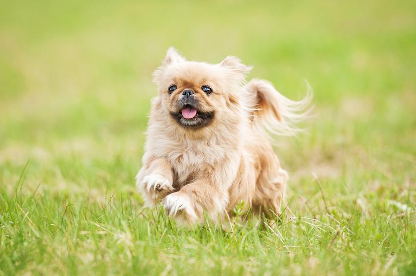 Pies rasy pekińczyk biegający po trawie, a także charakter, usposobienie, cena i hodowla
