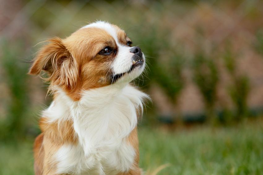 Pies rasy pekińczyk siedzący na trawie, a także charakter, usposobienie, cena pekińczyka i hodowla