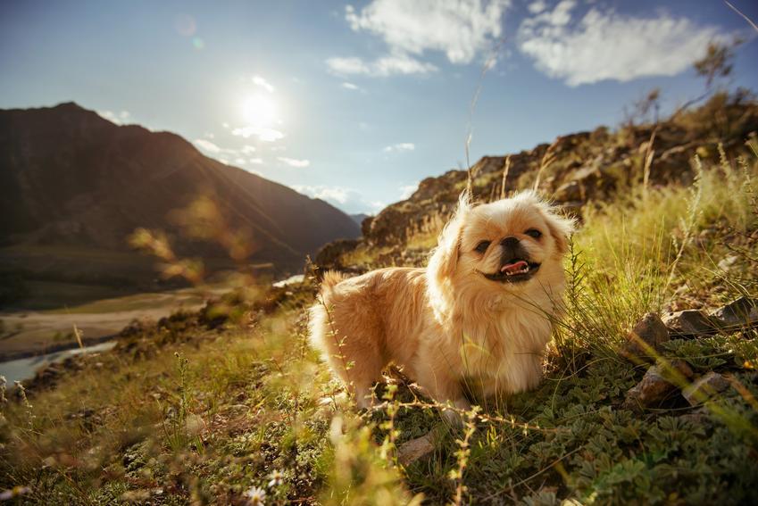 Dwa psy rasy pekińczyk na tle pięknego krajobrazu, a także informacje, charakter i cena pekińczyka