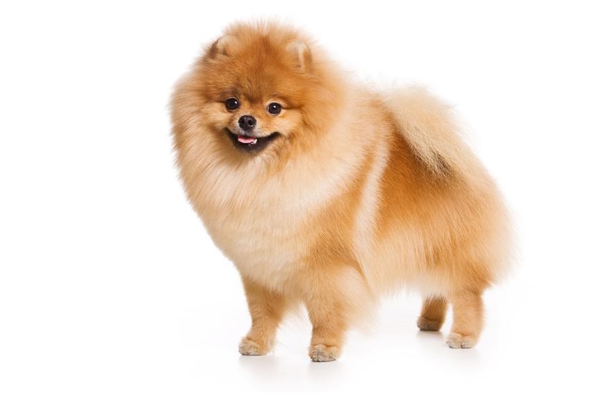 Pies rasy szpic niemiecki na białym tle, a także jego opis, charakter, cena i hodowla