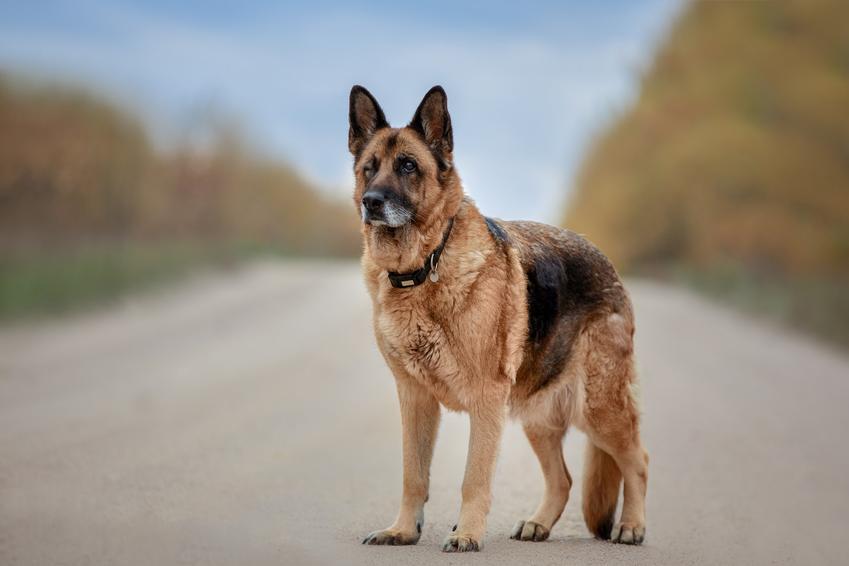 Pies rasy owczarek staroniemiecki na tle dorgi, a także charakter, usposobienie, cena i hodowla