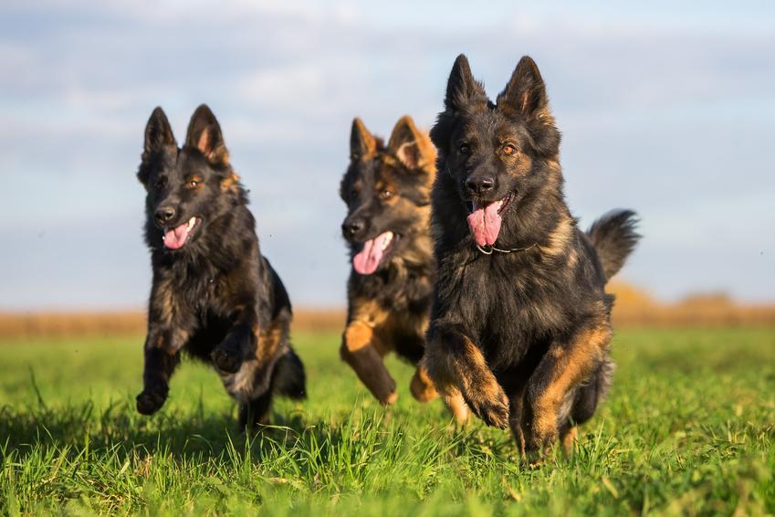 Biegnące po trawie psy rasy owczarek staroniemiecki długowłosy lub krótkowłosy i jego hodowla oraz cena