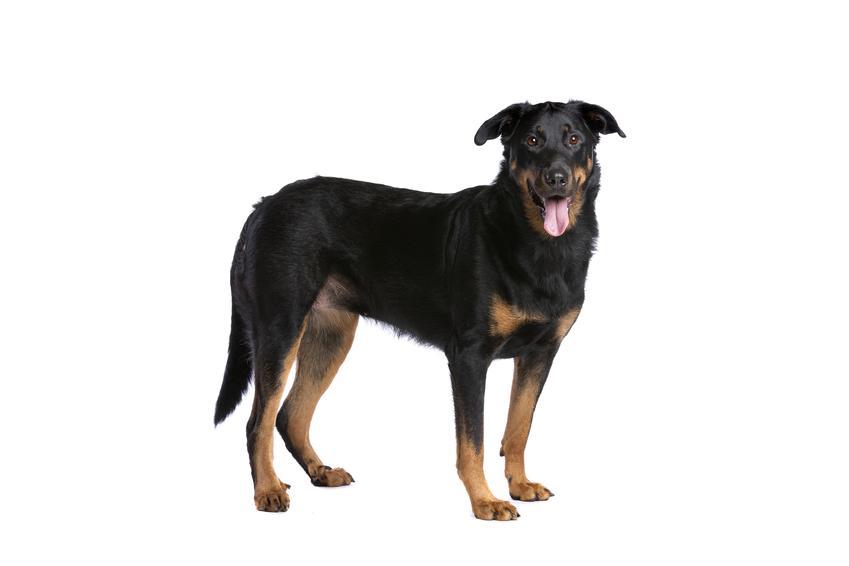 Pies rasy owczarek francuski beauceron na białym tle, a także jego charakter i hodowla