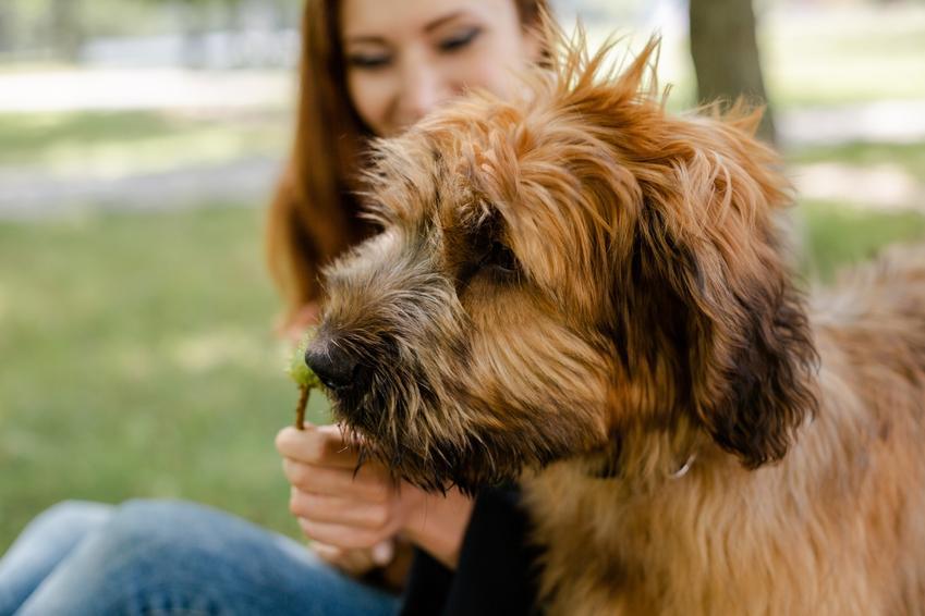 Pies rasy owczarek francuski briard podczas spaceru z panią, a także jego charakter i hodowla
