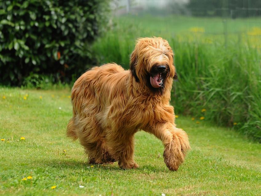 Pies rasy owczarek francuski briard na trawniku podczas spaceru, a także charakter i cena