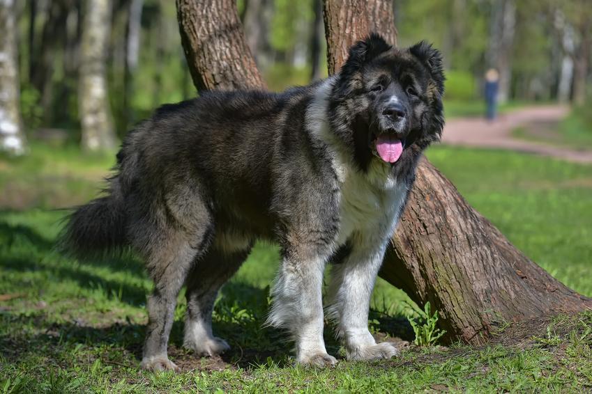 Pies rasy owczarek syberyjski lub kaukaski w parku podczas spaceru, a także charakter i cena