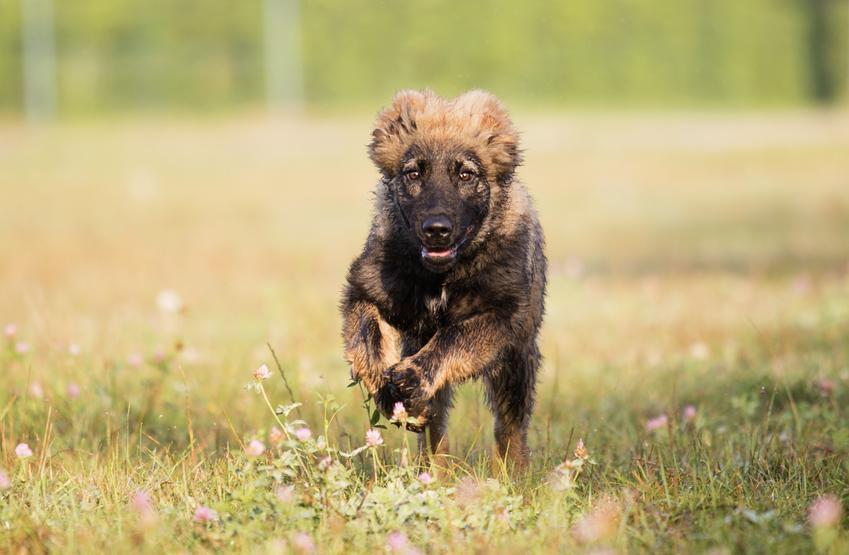 Pies rasy owczarek syberyjski lub kaukaski biegnący po trawniku oraz jego charakter i hodowla