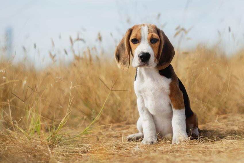 Pies rasy beagle podczas spaceru, a także usposobienie beagle