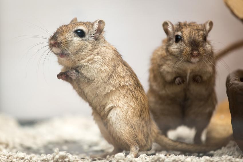 Dwa myszoskoczki w klatce w domu, a także myszoskoczek domowy i cena myszoskoczka
