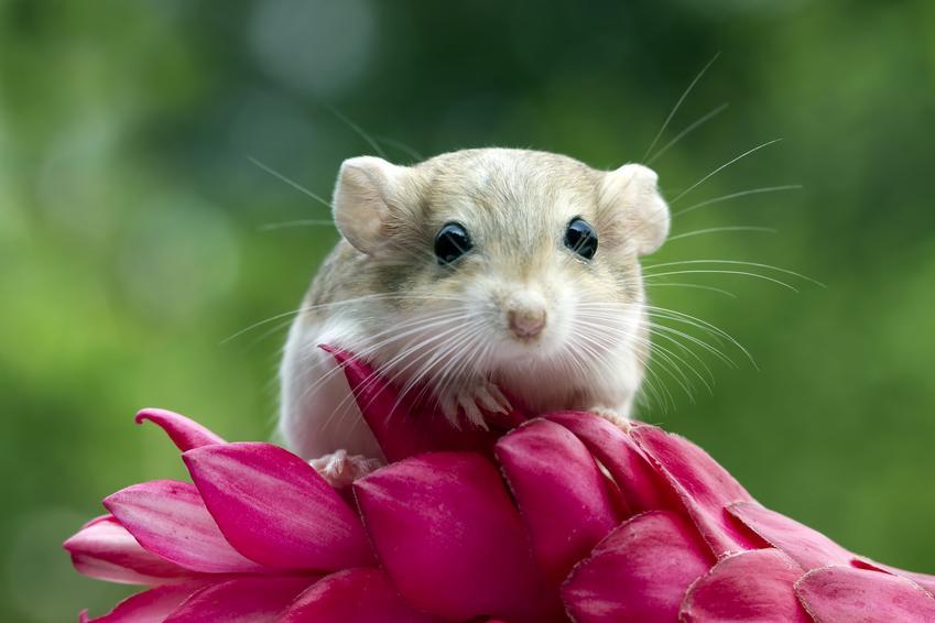 Myszoskoczek domowy z kwiatem na tle zieleni, a także jego wychowanie i cena myszoskoczka