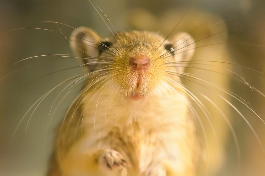 Myszoskoczek w klatce, a także cena myszoskoczka, wychowanie, hodowla i cena