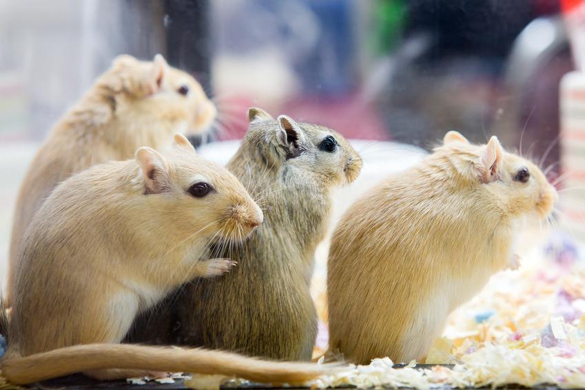 Myszoskoczki w klatce oraz cena myszoskoczka, hodowla, cena, wychowanie w domu