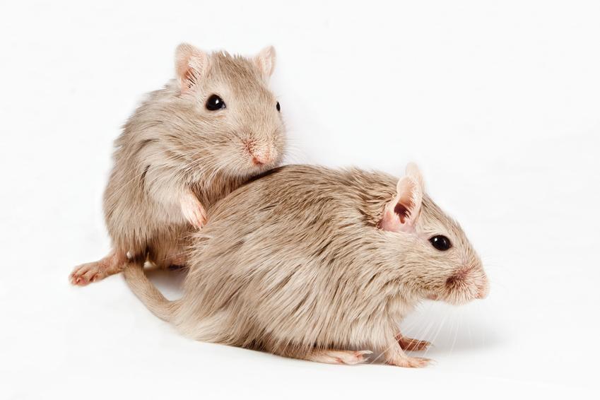 Myszoskoczki na białym tle oraz ile żyje myszoskoczek i długość życia myszoskoczka