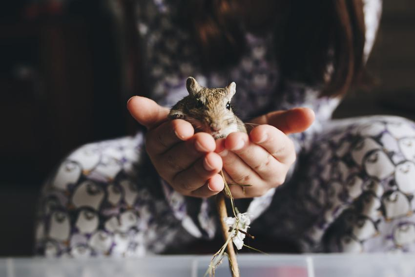 Myszoskoczek w dłoniach właścicielki oraz ile żyje myszoskoczek i długość życia myszoskoczka