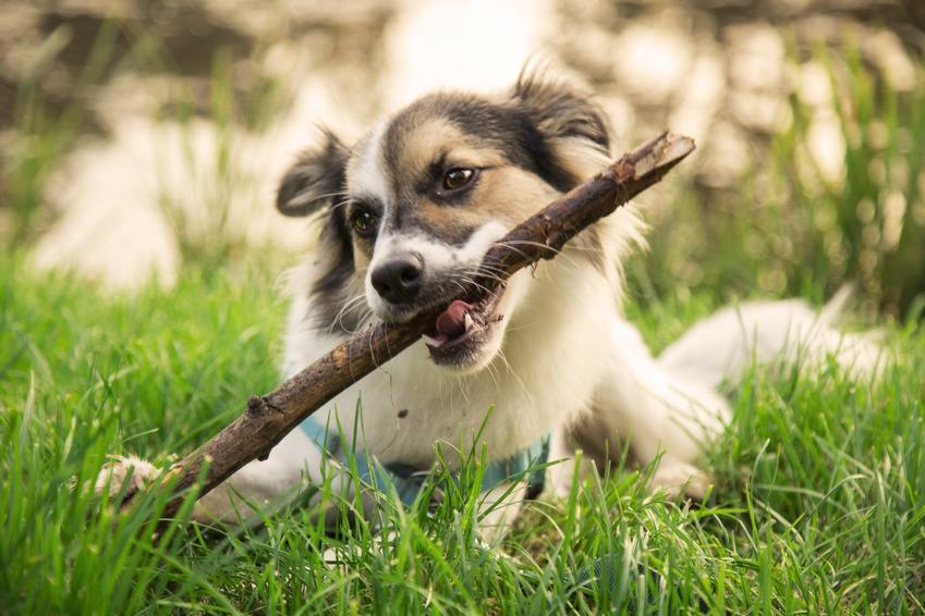 Szczeniak w trawie gryzący patyk, a także porady i sposoby, jak oduczyć szczeniaka gryzienia