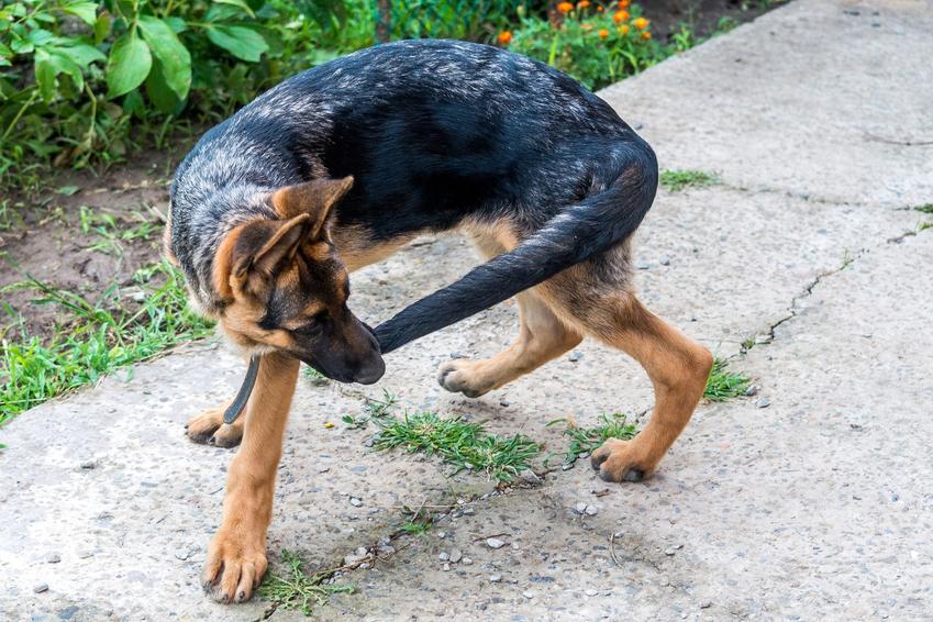Pies gryzący swój ogon na podwórku, a także dlaczego pies gryzie ogon