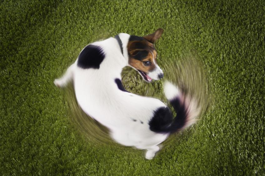 Pies ganiający i gryzący swój ogon na trawie, a także powody, dlaczego pies gryzie ogon