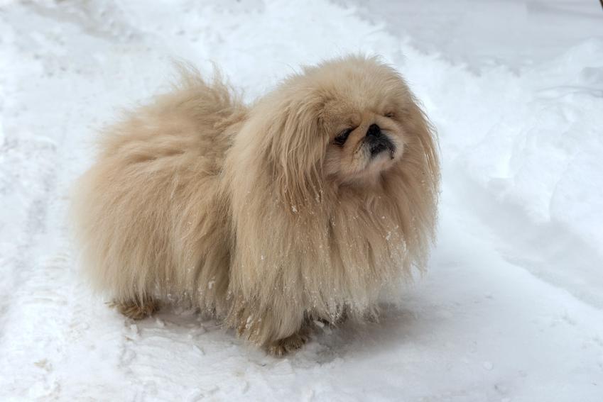 Pies rasy pekińczyk królewski na białym tle, a także informacje, charakter i opis rasy