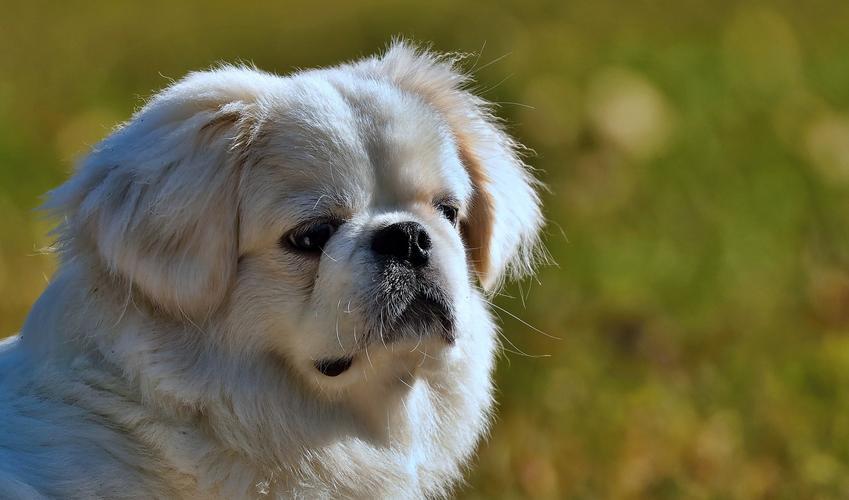 Pies rasy pekińczyk królewski na tle zieleni, a także charakter, usposobienie, cena i hodowla