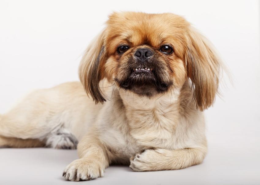 Pies rasy szczeniak pekińczyka leżący na białym tle oraz charakter, wychowanie i opieka