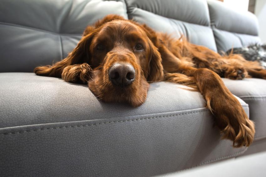 Suczka leżąca na kanapie, a także jakie jest zachowanie suczki po sterylizacji i czy jest agresywna
