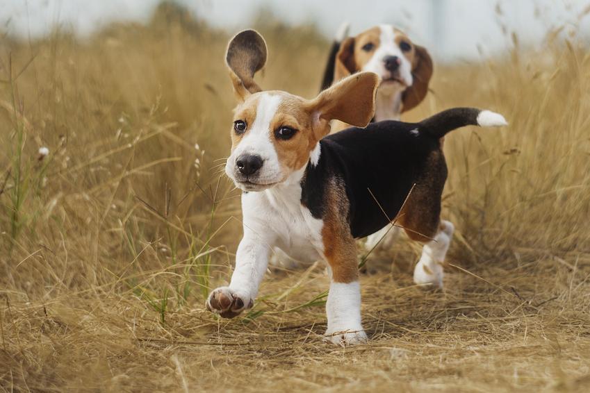 Szczeniaki beagle podczas spaceru, a także szczeniak beagle i cena psa z rodowodem