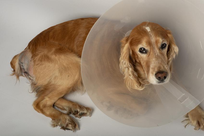 Pies w kołnierzu po operacji, a także przepuklina pępkowa u psa, objawy i leczenie