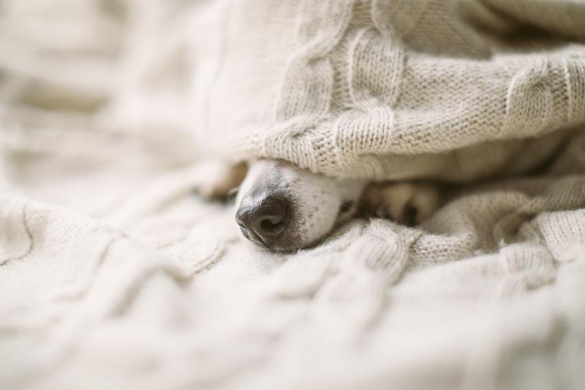 Pies leżący pod kocem w domu oraz przepuklina u szczeniaka, objawy, leczenie i kiedy operować