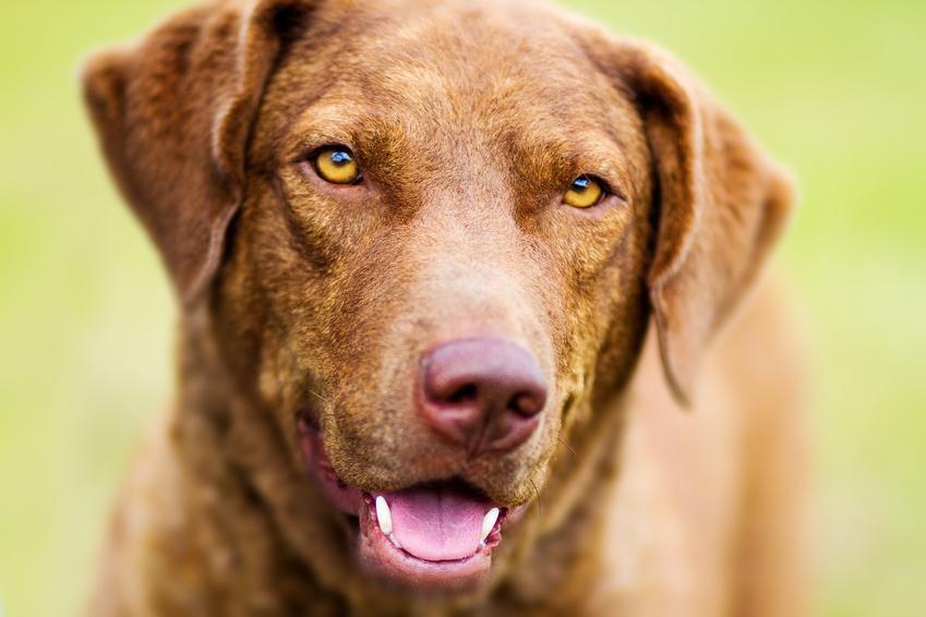 Pies rasy chesapeake bay retriever na tle zieleni, a także jego charakter i cena