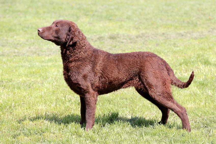 Pies rasy chesapeake bay retriever stojący na trawniku oraz jego hodowla i cena
