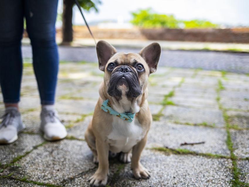 Pies rasy buldog francuski podczas spaceru, a także porównanie boston terrier a buldog francuski