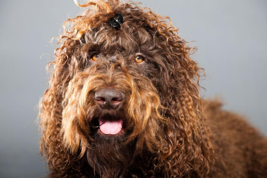 Pies francuski dowodny barbet na szarym tle, a take jego charakter i hodowla