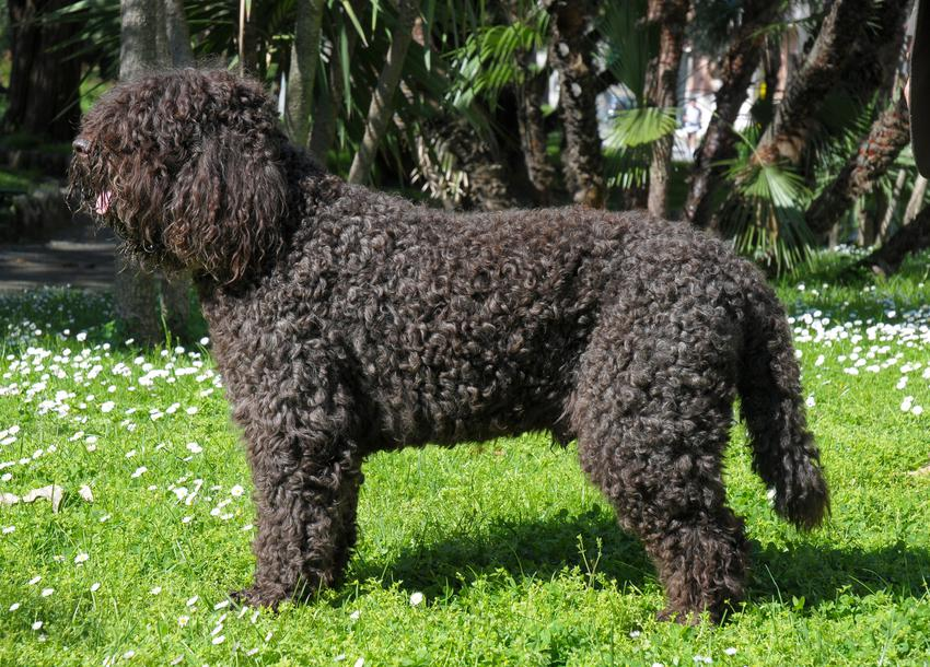 Pies rasy barbet dowodny francuski na trawniku oraz jego charakter i cena