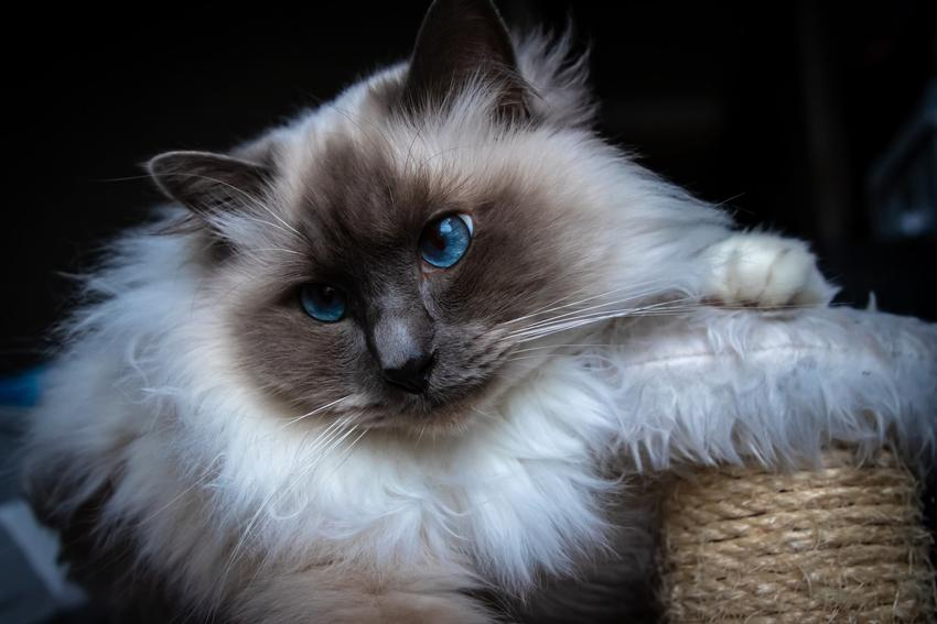 Kot birmański na ciemnym tle, a także cena kota birmańskiego i ile kosztuje kot birmański