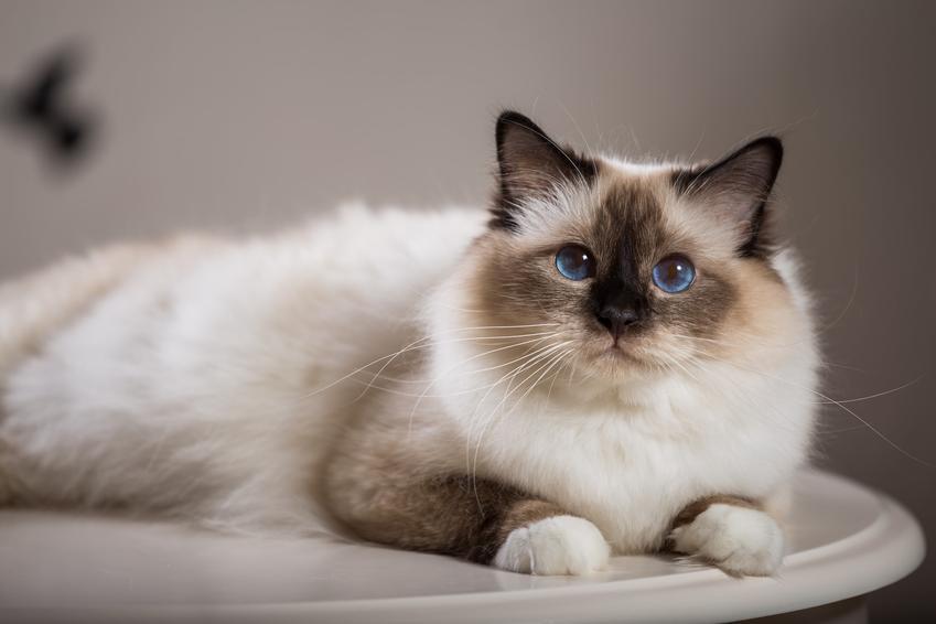 Kot birmański leżący na stole, a także cena kota birmańskiego i ile kosztuje kot birmański